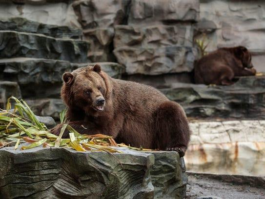 Thor, a 6-year-old grizzly bear, enjoys a stuffed pumpkin