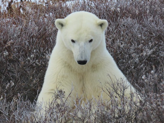 Gulzar Hallman saw this polar bear and about 14 others on a one-day viewing trip to Manitoba, Canada.