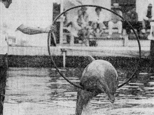 A Fort Myers News-Press photo from 1973 of a porpoise performing at the Porpoise Pool in the Cape Coral Gardens.