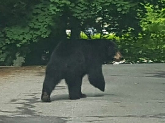 A bear was spotted Memorial Day weekend in Mahopac.