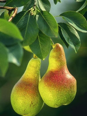 Pears  should be picked while still firm and ripened after harvest.