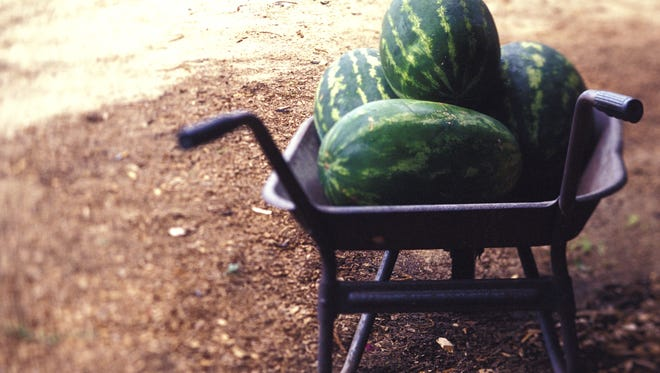 Knowing the right time to harvest melons from your garden can be challenging.