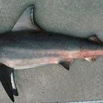 A Blacktip shark like this one was responsible for the latest attack on a surfer.