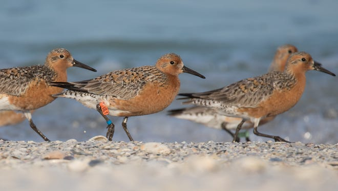 Red knots flock tothe beach. The one with the orange band was banded in Venezuela in the spring, helping scientists track migration patterns.