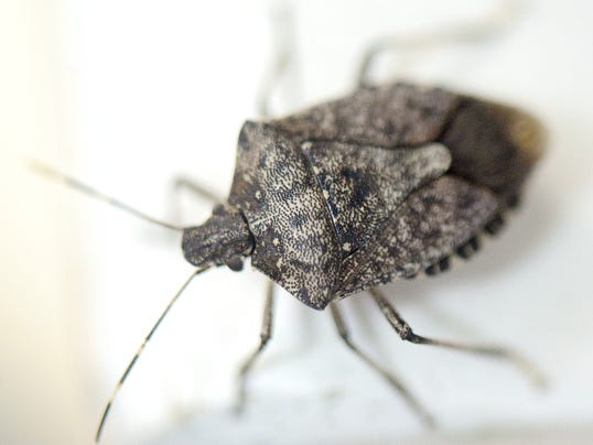 Stink bugs and other insects are following the sun this time of year. They're just trying to live one more day.