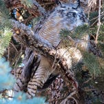 Reader Linda Bingemann of Great Falls took this photo of a sleepy owl at Giant Springs State Park. If you have a favorite outdoors photo you'd like to share, send it to triboutdoors@greatfallstribune.com. Include the photographer's name and hometown and a few details about the photo.