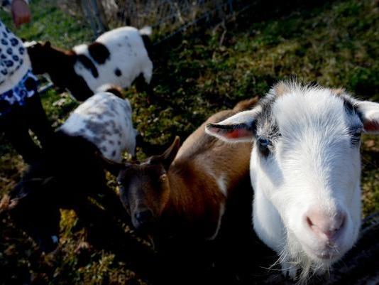 Okemos goats