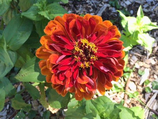 Zinnias are heat loving and have beautiful flowers