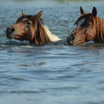 Chincoteague Ponies make their way across a small stream during the southern herd roundup on Assateague Island, Virginia, on Saturday, July 20, 2013.