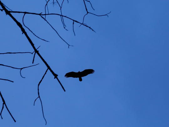 A turkey vulture flies overhead on Hanshaw Road, where Enck entered the woods in search of the area's bird species.
