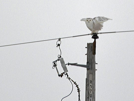 A snowy owl lands atop a telephone pole Feb. 4 near