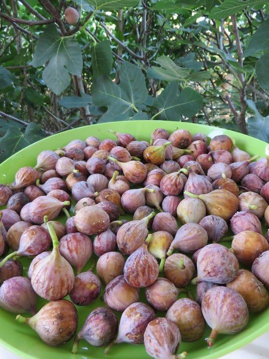 636352977866767313-Freshly-picked-ripe-figs-from-Celia-Casey-s-garden.JPG