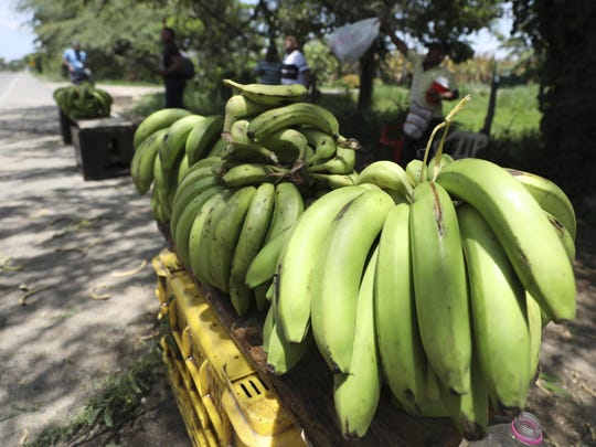 A man sells bananas near a quarantined banana plantation affected by a destructive fungus near Riohacha, Colombia, Thursday, Aug. 22, 2019. A disease that ravages banana crops has made its long-dreaded arrival in Latin America, reigniting worries about the global market's dependence on a single type of banana, the Cavendish. (AP Photo/Fernando Vergara)