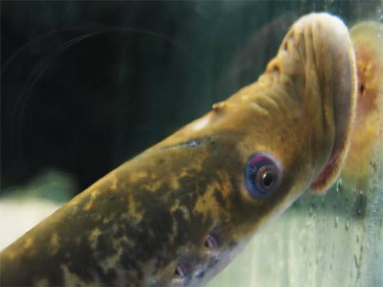 The much-maligned, and perhaps misunderstood, landlocked sea lampreys, a parasitic fish species live in Lake Champlain.