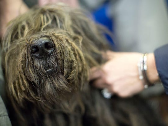 Thor, a Bergamasco, participates in the meet the breed portion of the 140th Westminster Kennel Club Dog Show, Saturday, Feb. 13, 2016, in New York.