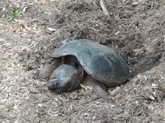 A snapping turtle laying her eggs in the author's yard.