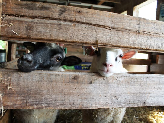 Serenity Farm is home to a pair each of goats, Shetland