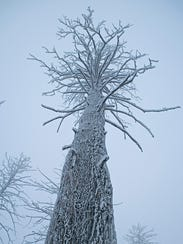 A frosty tree in the Centennial Mountains was among