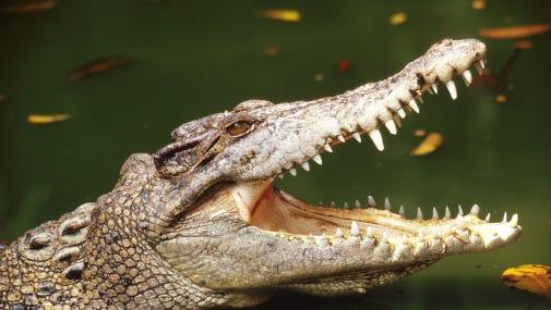 Alligator stock image.