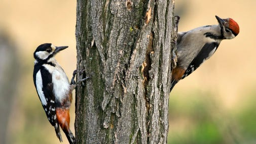 Some homeowners would prefer the din of a beeping alarm clock rather than waking up to the constant hammering of a woodpecker.