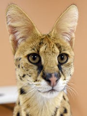This Nov. 7, 2017, photo shows an African Serval cat