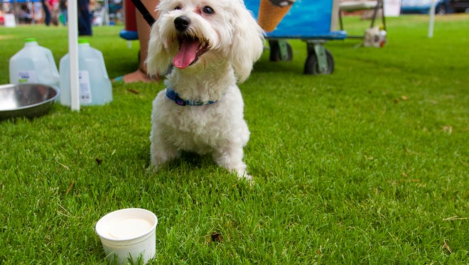 Oso enjoys dog friendly vanilla ice cream during the Dog Days of Summer in Murphy Park in Glendale.