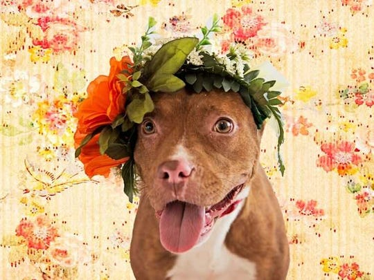 Rose - Female (spayed) pitbull mix, about 2 years old.