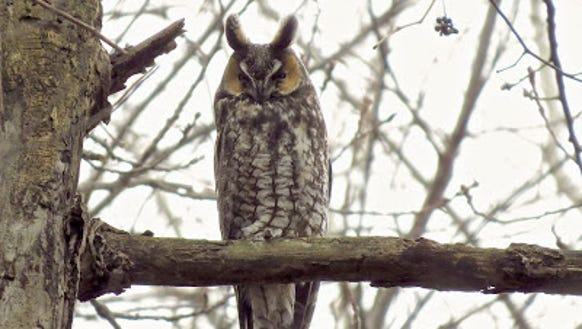 Long-eared owl.