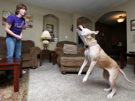 Rescued pitbull Mayhem jumps up to get a treat tossed