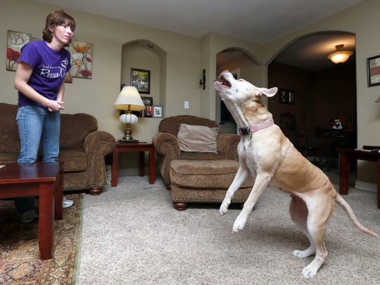 Rescued pitbull Mayhem jumps up to get a treat tossed  in the air by her Rescue One foster mom Kelly Fender. Mayhem will be reunited with her owner in Arizona after 3 years.