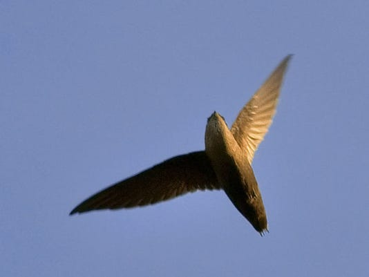 Chimney_swift_overhead.jpg