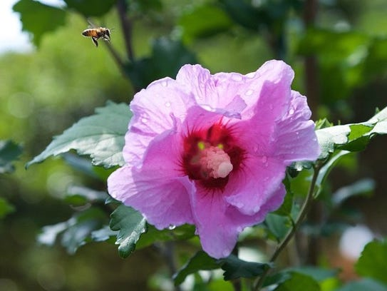 Bee en route to visit  a rose of sharon.