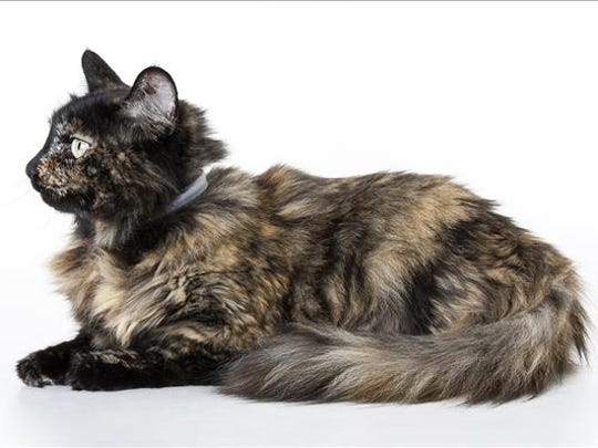 Matchi, 7-year-old female domestic long hair cat. No. 48232.