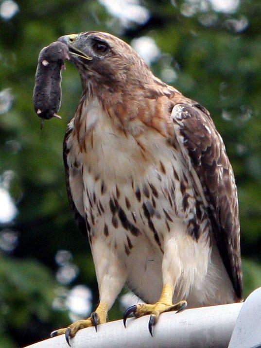 -fb081309hawk.jpg_20090813.jpg
