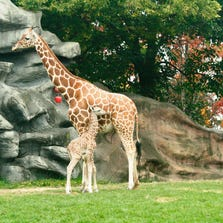 The zoo says the reticulated giraffe was born Tuesday evening to 5-year-old Kivuli following a 15-month gestation.