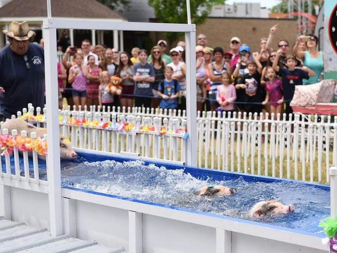 Pigs race and swim through water at the Chases Racing