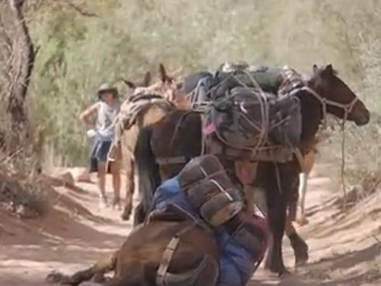 Havasupai fallen horse