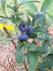 Titan blueberries at Blue Sky Berry Farm.