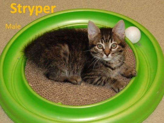 Stryper is a male kitten available at the city of Wichita