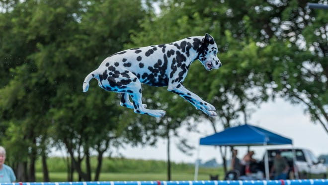 Kaele, a Dalmatian owned by Donna Colt of Haslett, leaps during a July 25 competition in Rock Falls, Ill.