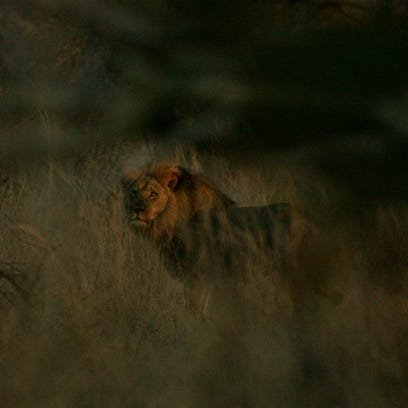 Jericho the lion, said to be pictured at Zimbabwe's