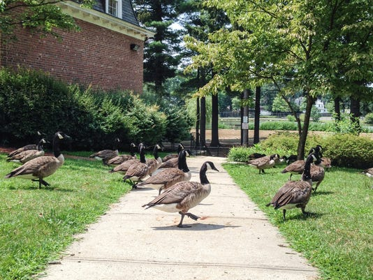 Geese in Huguenot Park