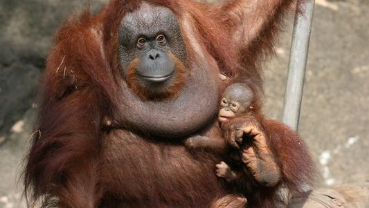 Orangutan Sabah and baby, Kayu, at the Jackson Zoo.