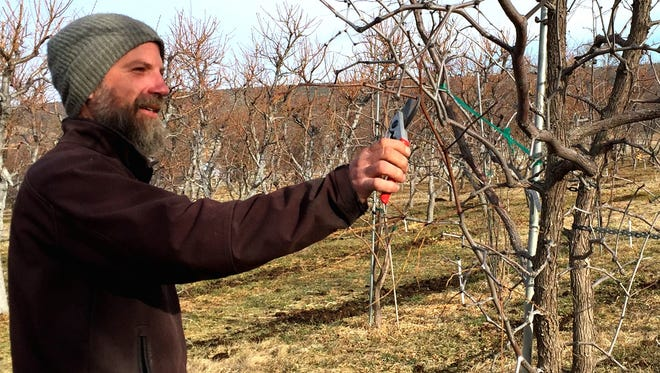 Rob Heyduck, senior research specialist at New Mexico State University's Sustainable Agriculture Science Center at Alcalde, is pruning a jujube fruit tree.