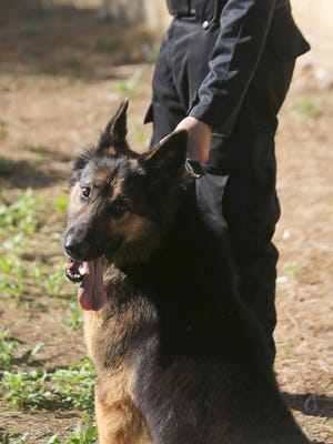 FILE -- A German Shepherd trains with its handler.