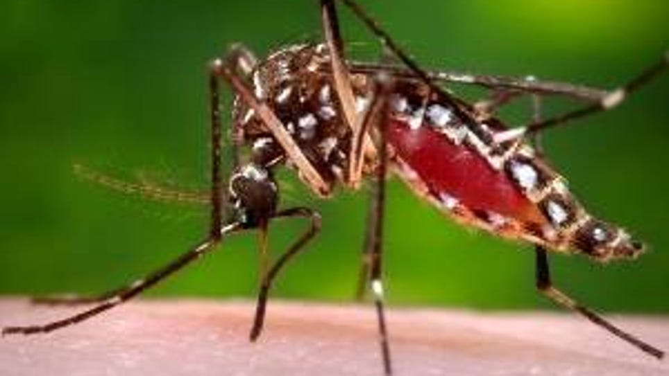 The yellow fever mosquito also transmits the Zika virus,