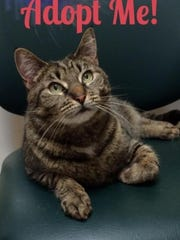 Myko is a tabby cat available for adoption at the Toms