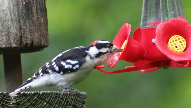 A downy woodpecker sips at a feeder in Brewster, N.Y.