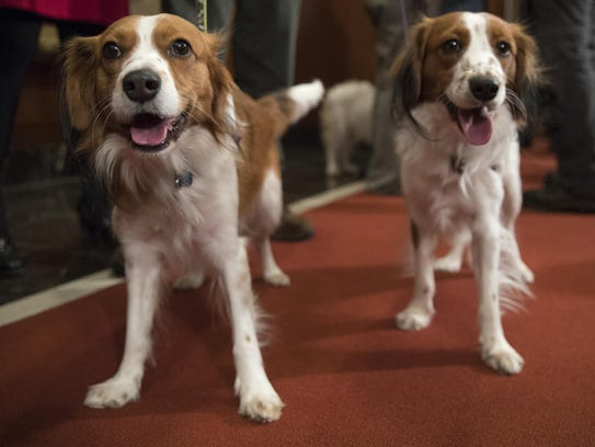 Nederlandse kooikerhondje Escher, right, and Rhett