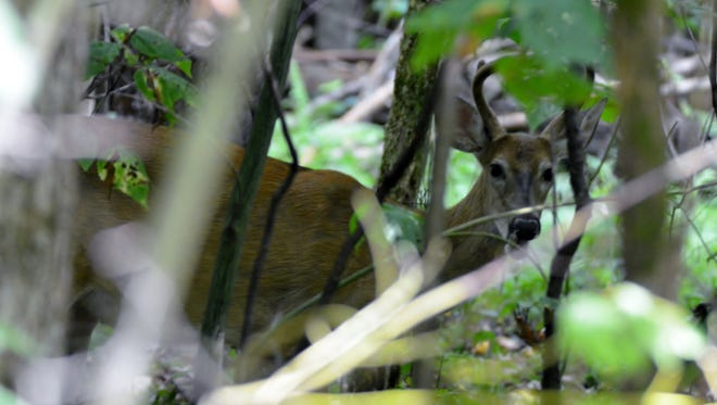 Most bucks will have lost their velvet by the time the season opens.